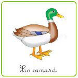Image de Le Canard. La vie des animaux.